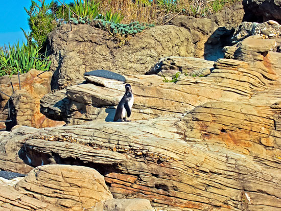 The penguins today. When we were kids we used to peak through chinks in the roughhewed fence on the boardwalk to get free peeks of them.
